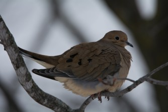 Mourning Dove - December 2014