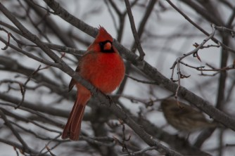 Northern Cardinal - December 2014