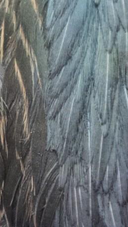 Green Heron; mantle