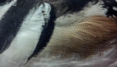Hooded Merganser; male; breast, flank, scapulars