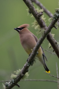 Cedar Waxwing - Edwin M. Griffin Nature Preserve