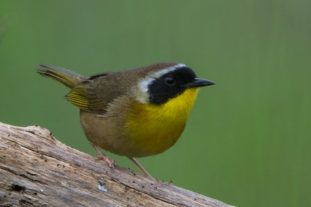 Common Yellowthroat - Edwin M. Griffin Nature Preserve