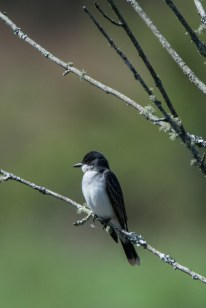 Eastern Kingbird - Edwin M. Griffin Nature Preserve