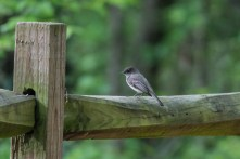 Eastern Phoebe - Lake Conestee Nature Park