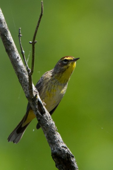 Palm Warbler - Edwin M. Griffin Nature Preserve