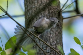 Tufted Titmouse - Edwin M. Griffin Nature Preserve