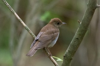 Veery - Edwin M. Griffin Nature Preserve