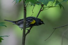 Yellow-rumped Warbler - Lake Conestee Nature Park