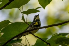 Yellow-rumped Warbler - Edwin M. Griffin Nature Preserve