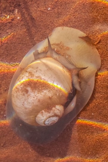 Moon Snail - A predator in slow motion