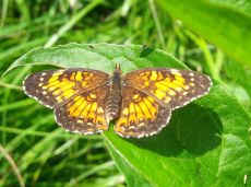 Harris's Checkerspot