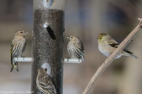 Pine Siskin & American Goldfinch