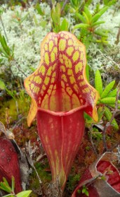 Pitcher Plant - Escuminac, NB