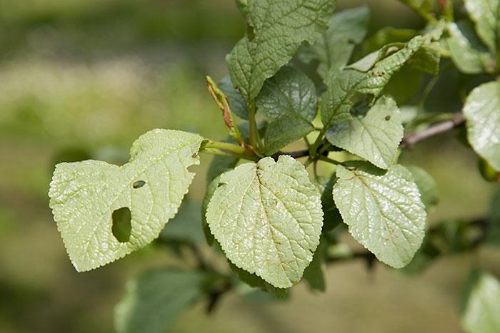 Silver Leaf On Plum Tree