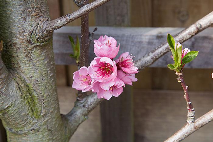 Peach Blossom Prunus Persica Peregrine