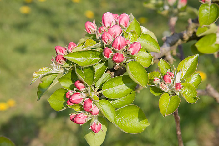 Apple Quotes Wallpaper Apple Blossom Pink Bud Stage Malus Domestica Bramley