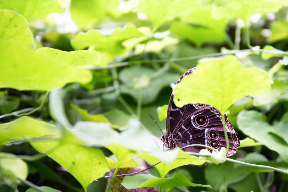 farfalla civetta a casa delle farfalle
