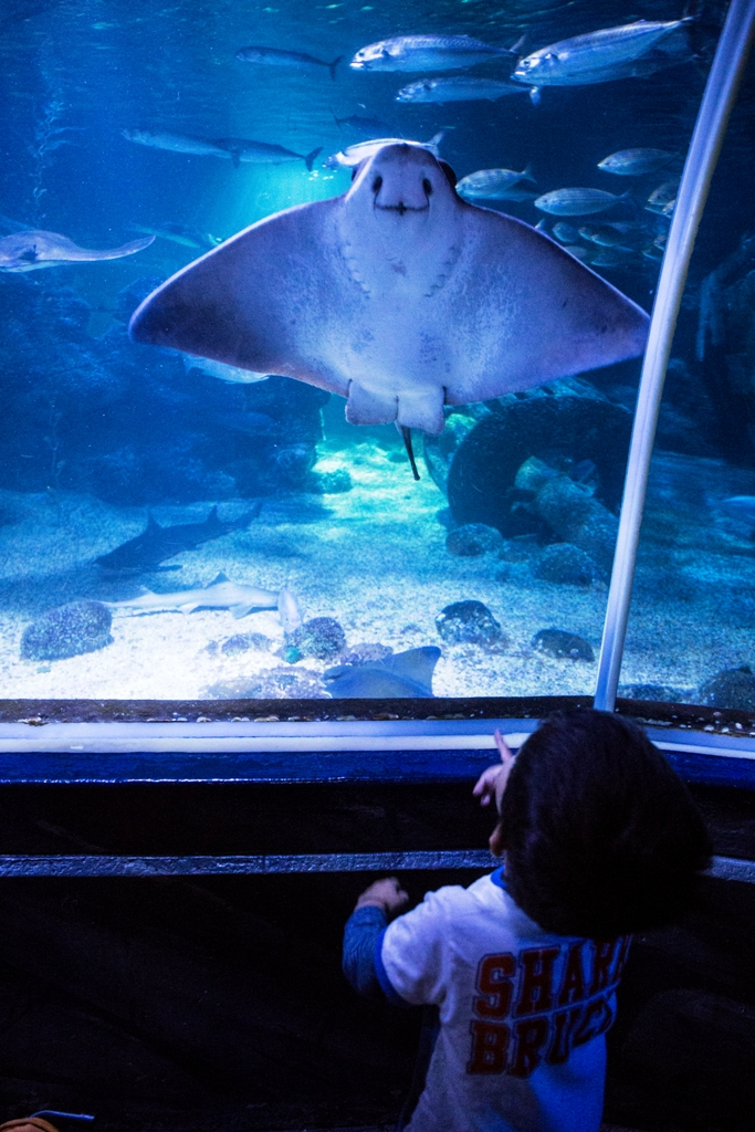 un bambino che guarda una manta al Sealife di Berlino