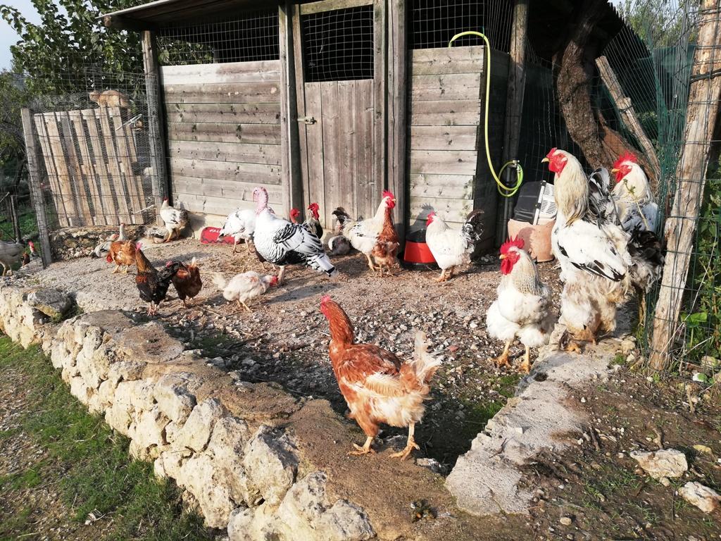 galline in fattoria didattica a agrigento