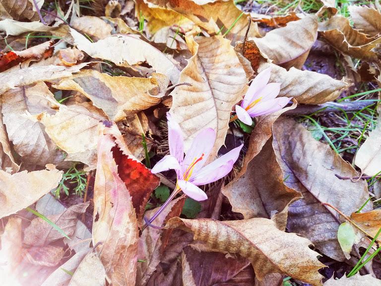 fiore e foglie di castagno sull'Etna