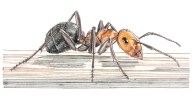 Thatching Ant