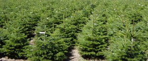 Des sapins naturels sont cultivés exclusivement pour les fêtes de Noël.