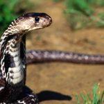 Rêves : Que signifie rêver de serpent?
