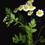 Plantes : la camomille