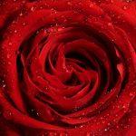 Les plantes : la rose rouge
