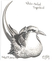 2010-2-27-white-tailed-tropicbird