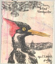 2010.4.2.Ivory.billed.Woodpecker