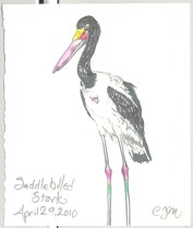 2010.4.29.Saddlebilled.Stork