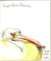 2010.5.6 Great White Pelican