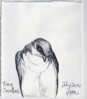 2010.7.1 Tree Swallow