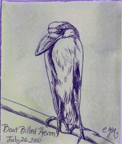 2010.7.26 Boat Billed Heron
