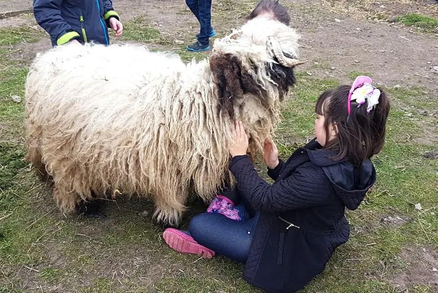black nose valaise sheep