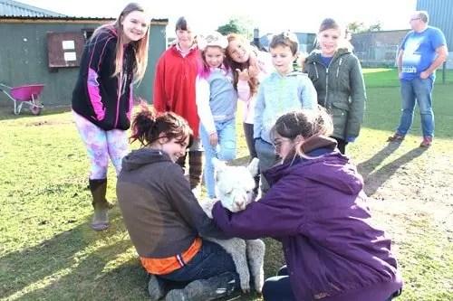 People meeting a baby alpaca