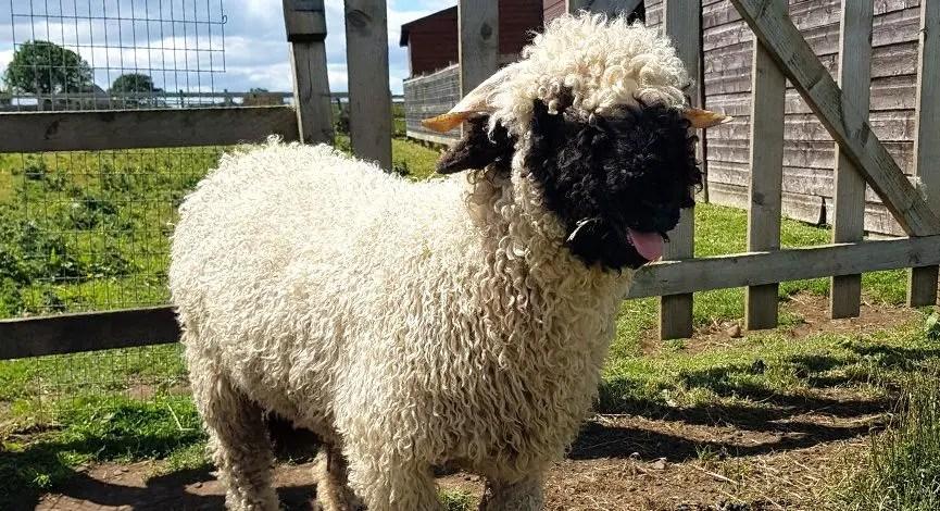 black nose valais sheep standing