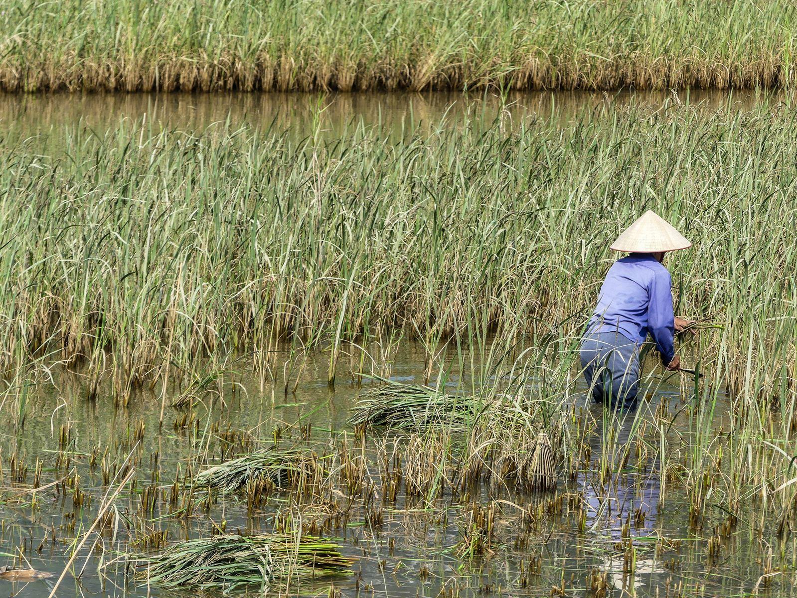 Cueillette du riz Tam Coc Baie d'Halong terrestre