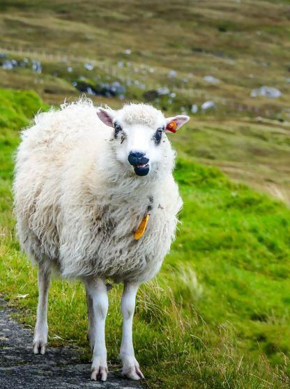 Mouton sur le bord de la route