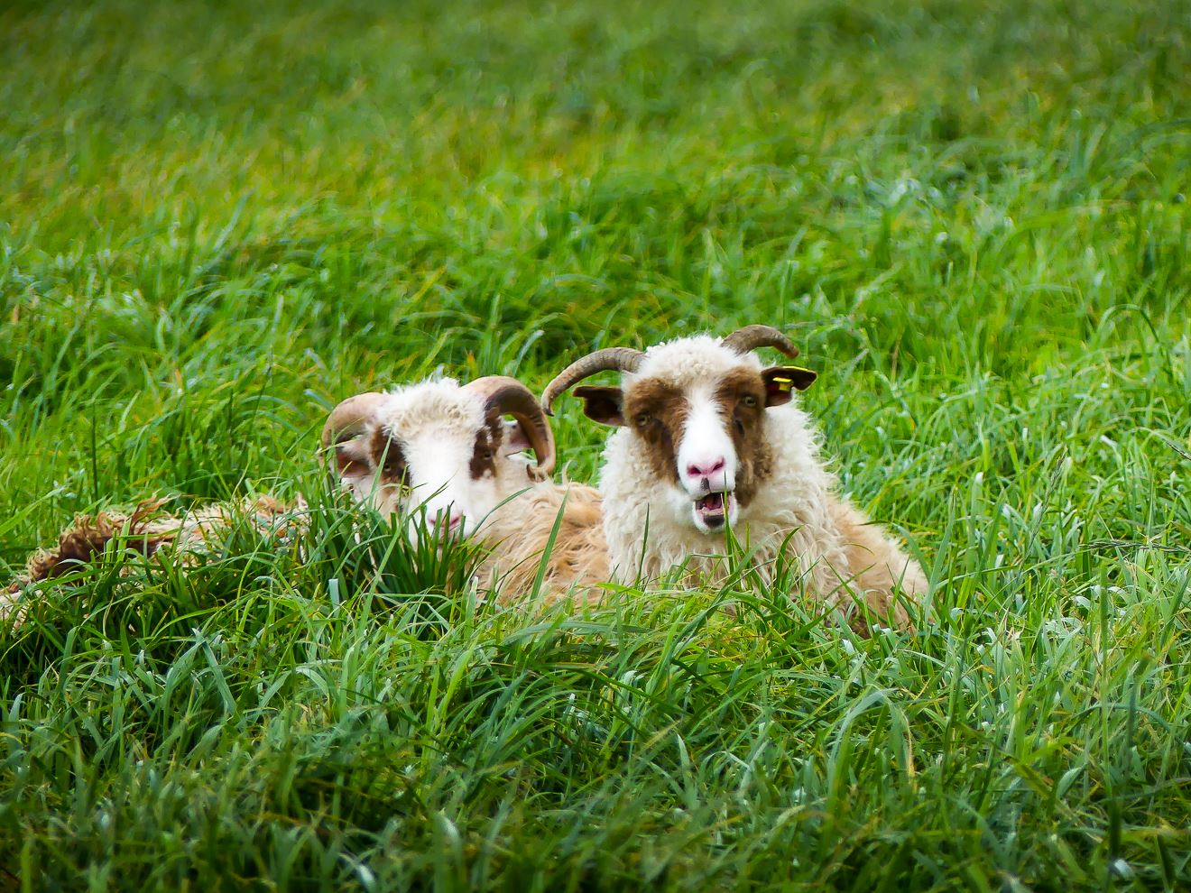 Première rencontre avec des moutons