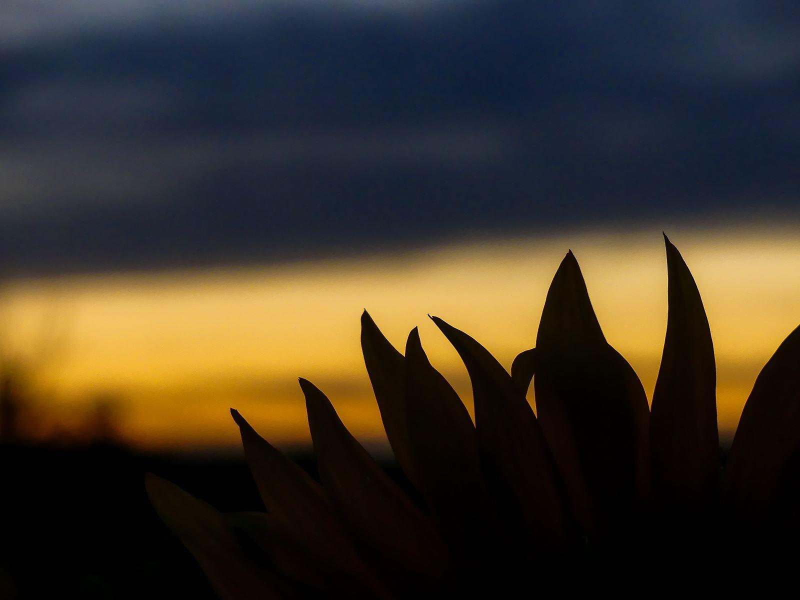 Sunset tournesols- Gardouch