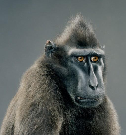 Monkey Portraits ClampArt