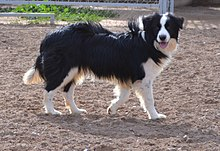 220px-Border_Collie_Macho_Blanco_y_Negro_(Batman,_los_Baganes_Border_Collie).jpg