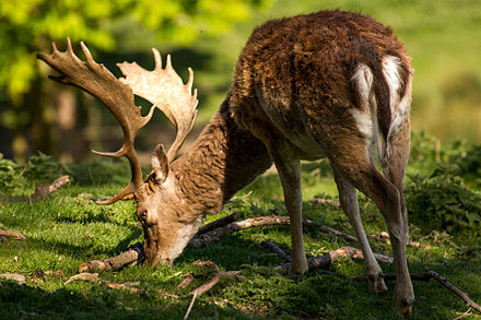 Fallow_buck_deer_with_palmate_antlers_in_sunlight.jpg