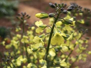 les flors del bròquil