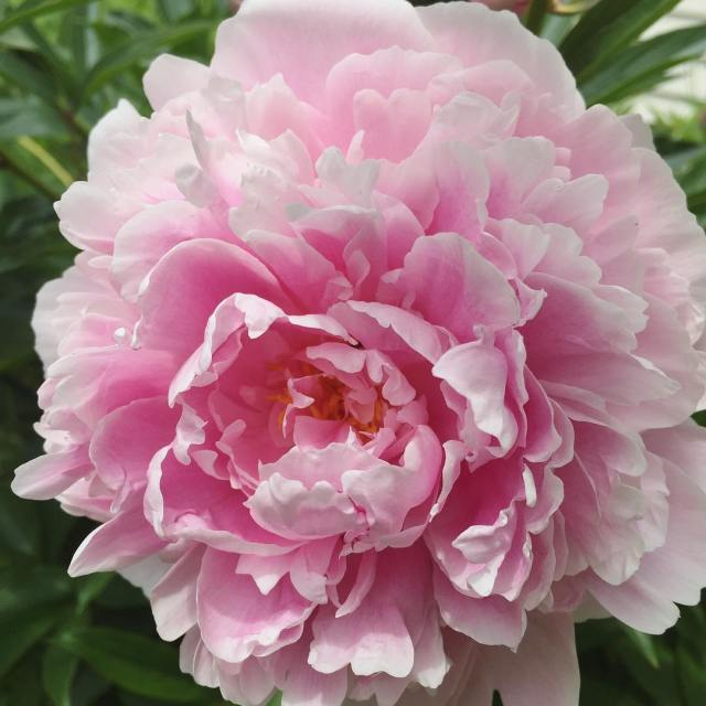 At last the peonies!