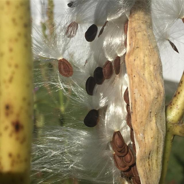 The milkweed pods have popped! I have just enough timehellip