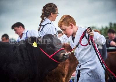 Colin Kearney showing his beast at Kildysart Show. Photograph by John Kelly