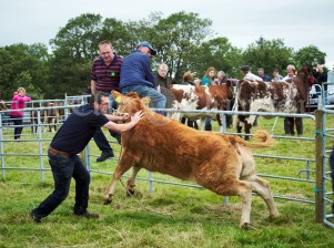 An excited heifer causes a bit of a stir at Kildysart Show. Photograph by John Kelly
